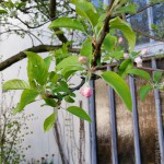 Apfelblüte im Waldorfkindergarten Baden-Baden