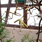 Korkenzieherweide im Waldorfkindergarten Baden-Baden